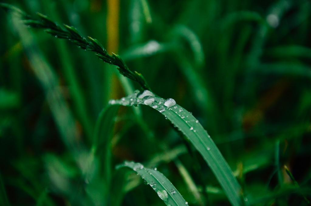 grass-drop-after-rain