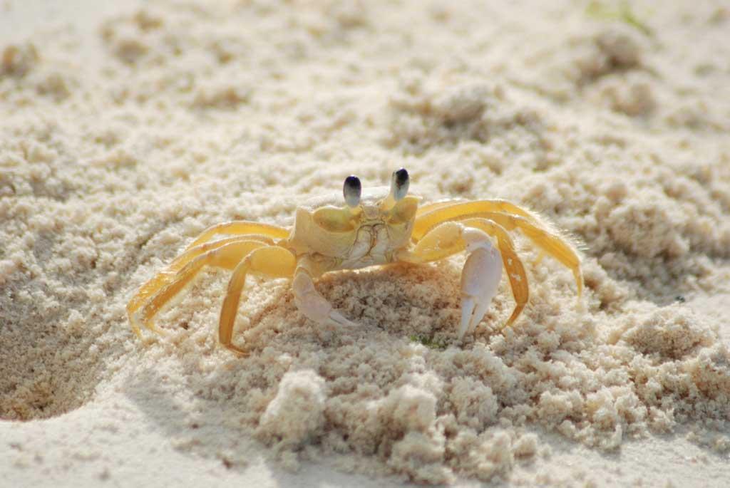 crab-yellow-ocypode-quadrata-atlantic-ghost-crab-63282