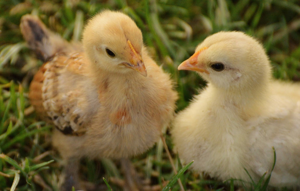 chicks-chicken-small-poultry-162331